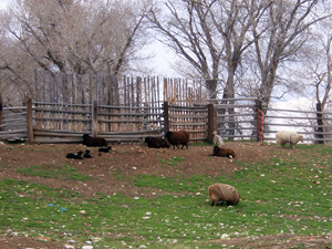 Multi-colored sheep and lambs